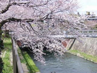 京都の桜02