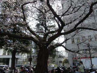 NHK前の桜大木